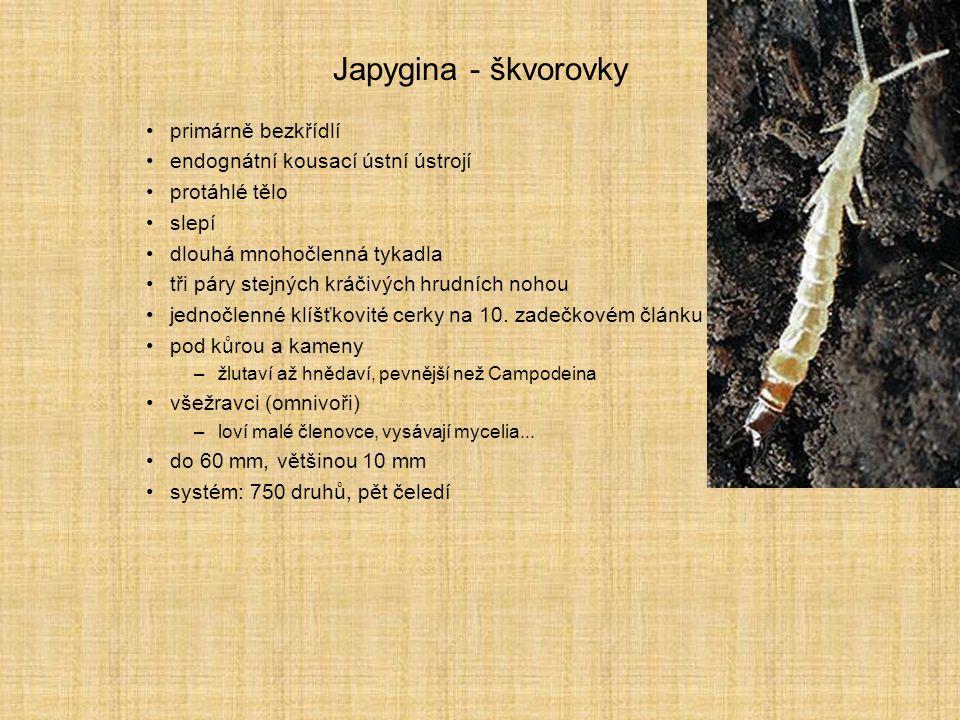 Japygina - škvorovky primárně bezkřídlí endognátní kousací ústní ústrojí protáhlé tělo slepí dlouhá mnohočlenná tykadla tři páry stejných kráčivých hr