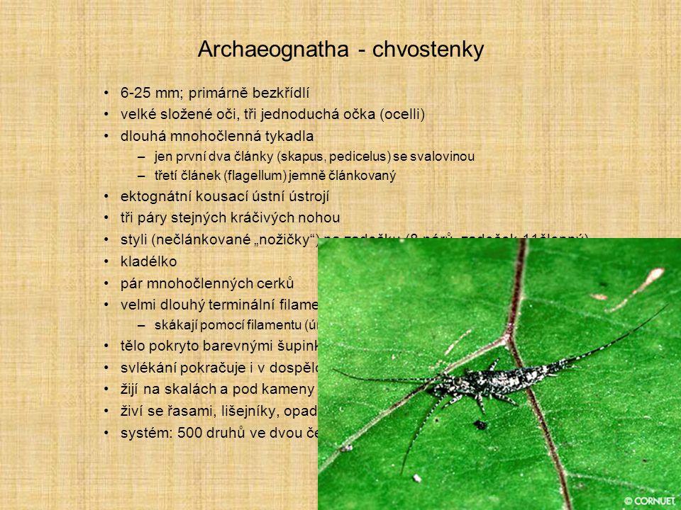 Archaeognatha - chvostenky 6-25 mm; primárně bezkřídlí velké složené oči, tři jednoduchá očka (ocelli) dlouhá mnohočlenná tykadla –jen první dva článk