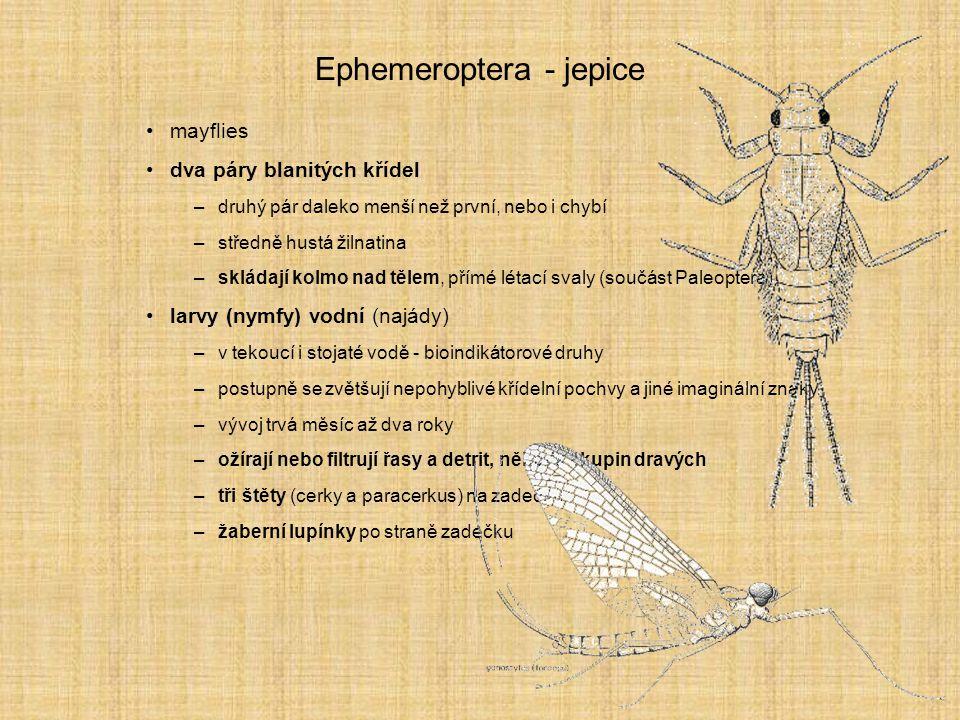 Ephemeroptera - jepice mayflies dva páry blanitých křídel –druhý pár daleko menší než první, nebo i chybí –středně hustá žilnatina –skládají kolmo nad