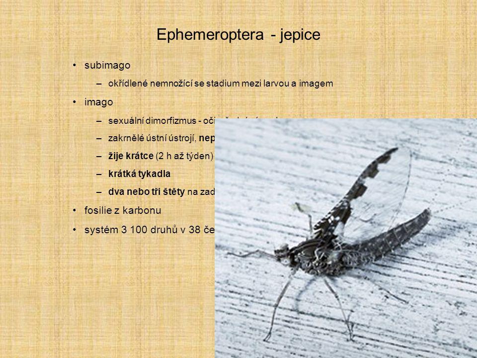 Ephemeroptera - jepice subimago –okřídlené nemnožící se stadium mezi larvou a imagem imago –sexuální dimorfizmus - oči, přední pár nohou... –zakrnělé