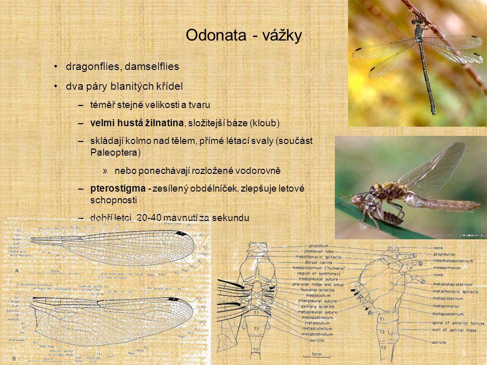 Odonata - vážky dragonflies, damselflies dva páry blanitých křídel –téměř stejné velikosti a tvaru –velmi hustá žilnatina, složitejší báze (kloub) –sk