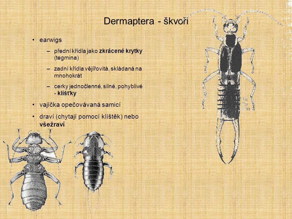 Dermaptera - škvoři earwigs –přední křídla jako zkrácené krytky (tegmina) –zadní křídla vějířovitá, skládaná na mnohokrát –cerky jednočlenné, silné, p