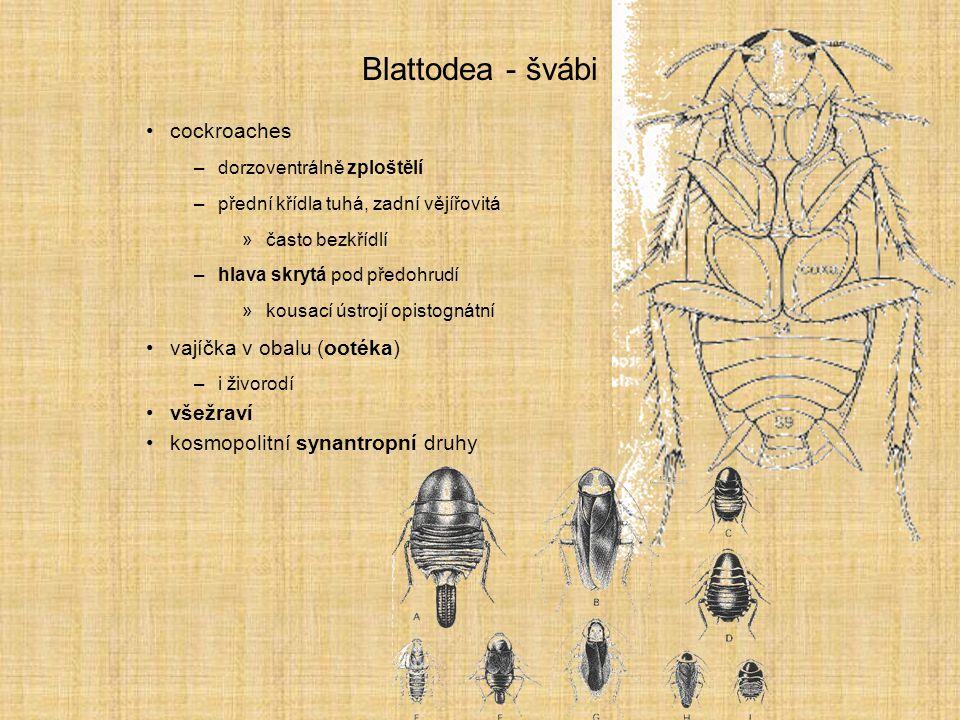 Blattodea - švábi cockroaches –dorzoventrálně zploštělí –přední křídla tuhá, zadní vějířovitá »často bezkřídlí –hlava skrytá pod předohrudí »kousací ú
