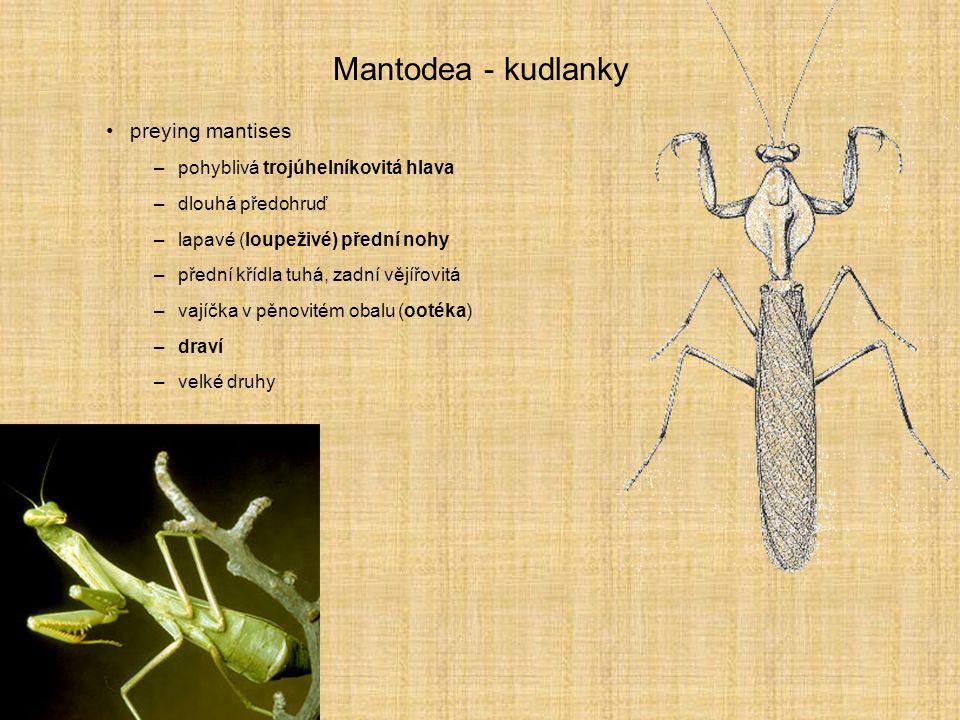 Mantodea - kudlanky preying mantises –pohyblivá trojúhelníkovitá hlava –dlouhá předohruď –lapavé (loupeživé) přední nohy –přední křídla tuhá, zadní vě