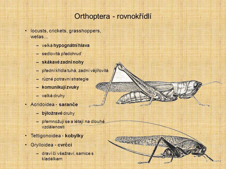 Orthoptera - rovnokřídlí locusts, crickets, grasshoppers, wetas... –velká hypognátní hlava –sedlovitá předohruď –skákavé zadní nohy –přední křídla tuh