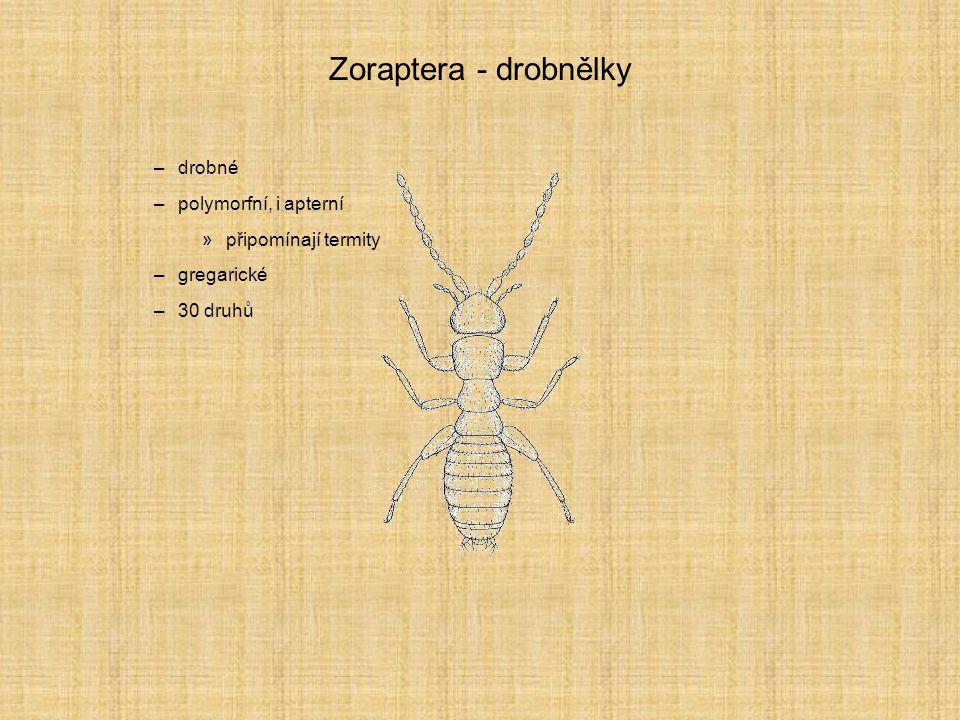 Zoraptera - drobnělky –drobné –polymorfní, i apterní »připomínají termity –gregarické –30 druhů