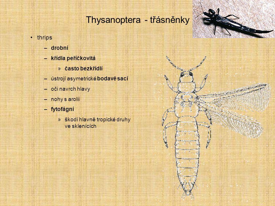 Thysanoptera - třásněnky thrips –drobní –křídla peříčkovitá »často bezkřídlí –ústrojí asymetrické bodavě sací –oči navrch hlavy –nohy s arolii –fytofá