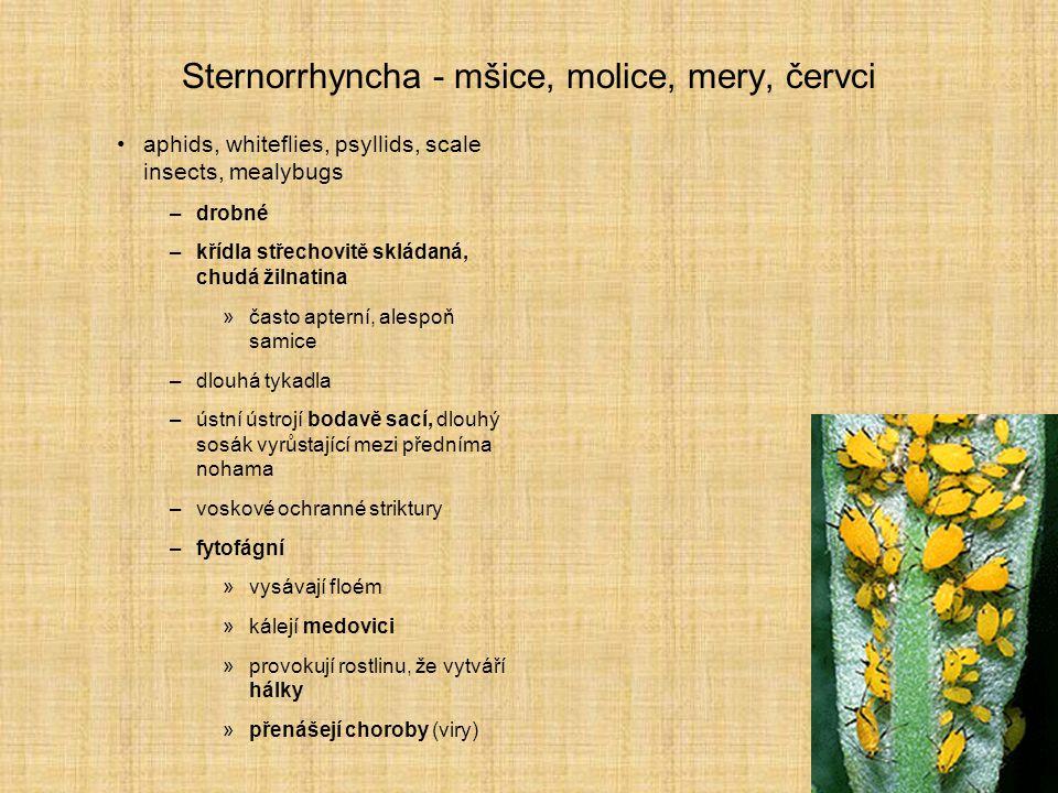 Sternorrhyncha - mšice, molice, mery, červci aphids, whiteflies, psyllids, scale insects, mealybugs –drobné –křídla střechovitě skládaná, chudá žilnat