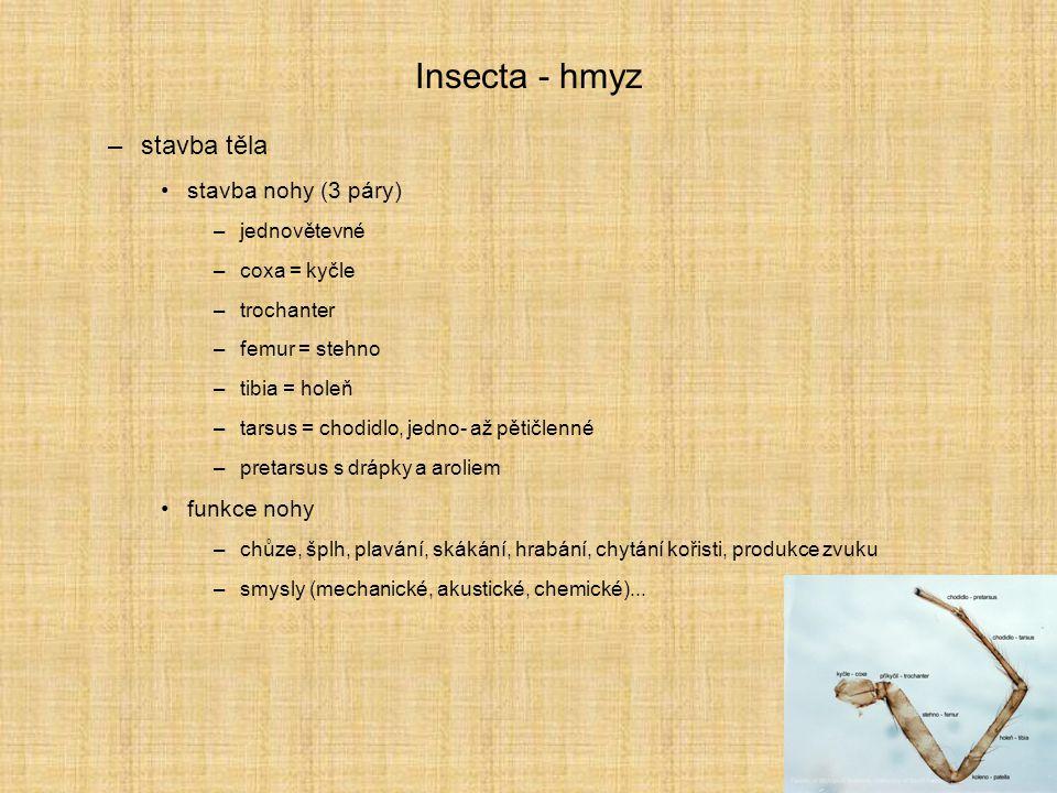 Insecta - hmyz –stavba těla stavba nohy (3 páry) –jednovětevné –coxa = kyčle –trochanter –femur = stehno –tibia = holeň –tarsus = chodidlo, jedno- až
