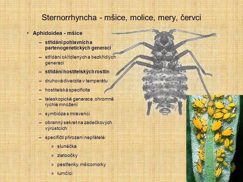 Sternorrhyncha - mšice, molice, mery, červci Aphidoidea - mšice –střídání pohlavních a partenogenetických generací –střídání okřídlených a bezkřídlých