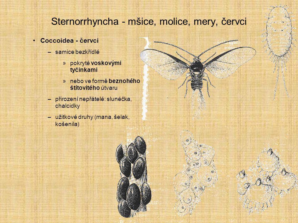Sternorrhyncha - mšice, molice, mery, červci Coccoidea - červci –samice bezkřídlé »pokryté voskovými tyčinkami »nebo ve formě beznohého štítovitého út