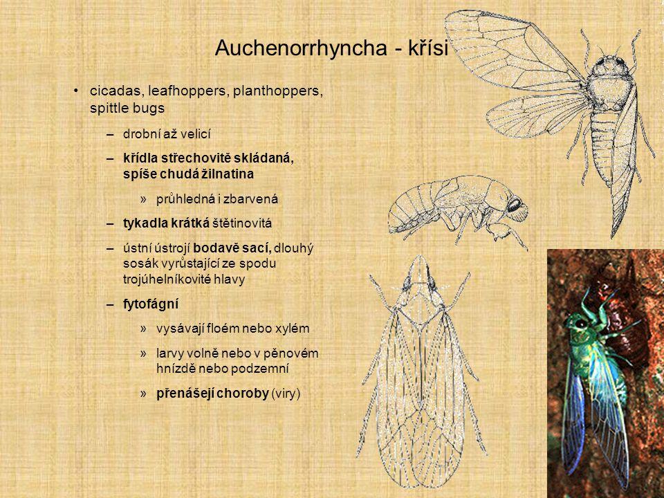 Auchenorrhyncha - křísi cicadas, leafhoppers, planthoppers, spittle bugs –drobní až velicí –křídla střechovitě skládaná, spíše chudá žilnatina »průhle