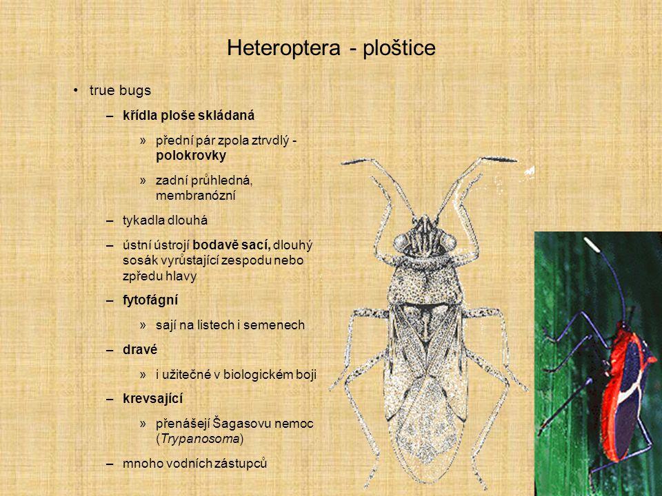 Heteroptera - ploštice true bugs –křídla ploše skládaná »přední pár zpola ztrvdlý - polokrovky »zadní průhledná, membranózní –tykadla dlouhá –ústní ús
