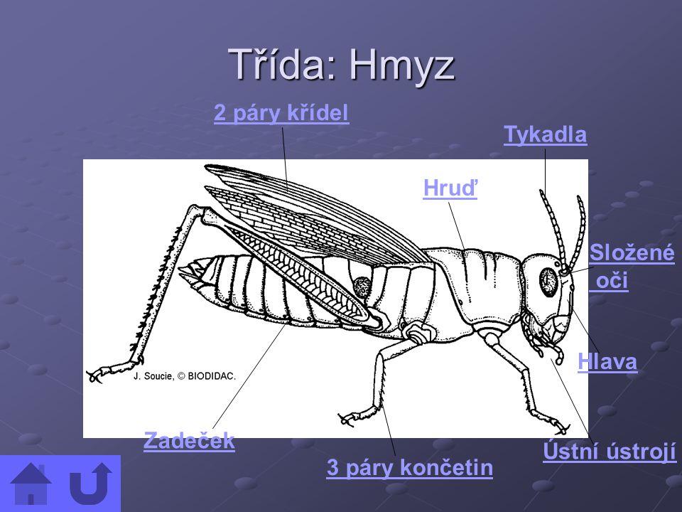 Třída: Hmyz 2 páry křídel Hruď Tykadla Hlava Ústní ústrojí 3 páry končetin Zadeček Složené oči
