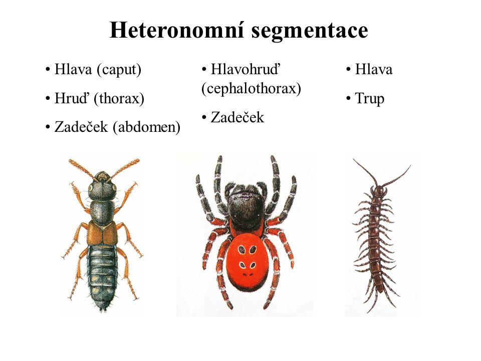 Vývoj, způsob života a životní prostředí Gonochoristé Partenogeneze, neotenie, pedogeneze Heterogonie Polyembryonie Vajíčka mezo- až polylecitální Superficiální rýhování Oviparie (ovoviviparie, viviparie, larviparie, pupiparie) Převážně suchozemští, také primárně i sekundárně vodní