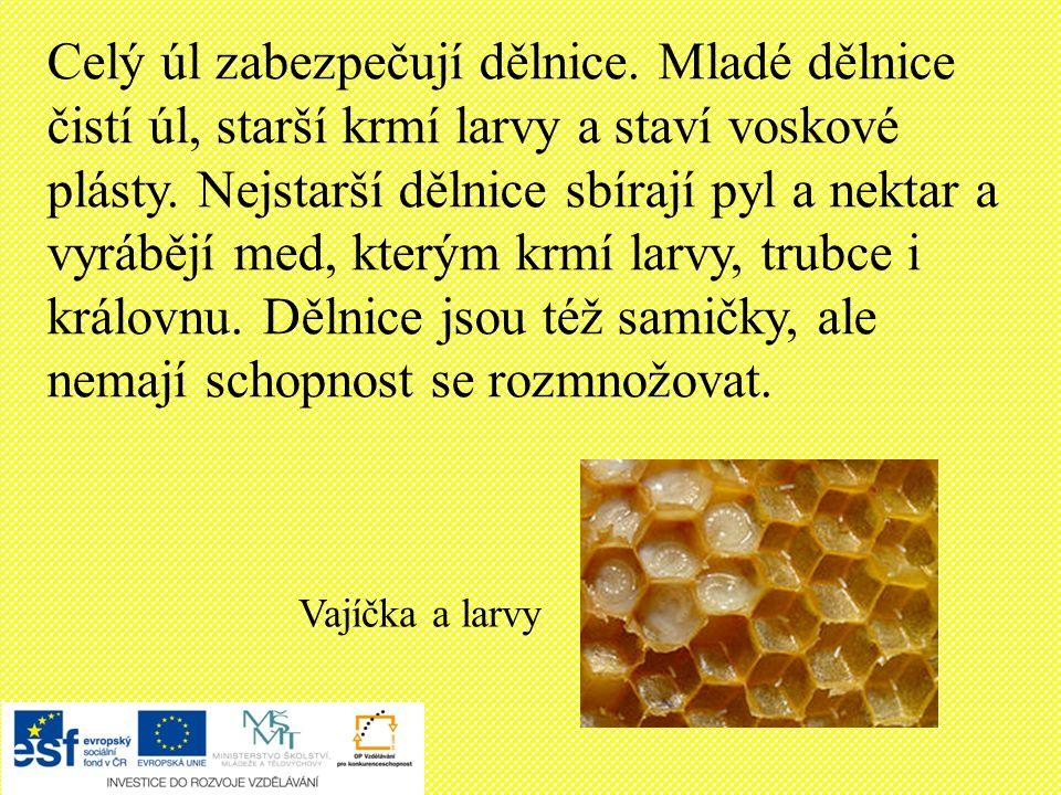 Vajíčka a larvy Celý úl zabezpečují dělnice.