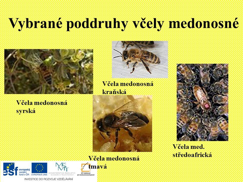Vybrané poddruhy včely medonosné Včela med.