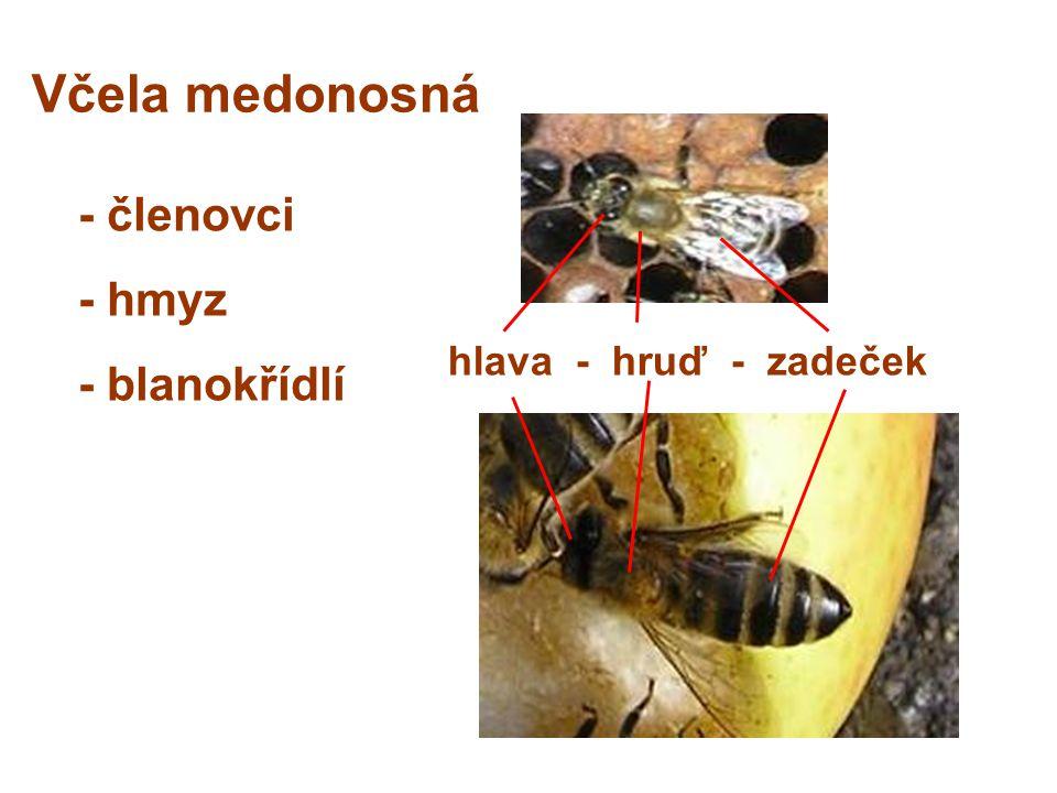 Včela medonosná - členovci - hmyz - blanokřídlí hlava - hruď - zadeček