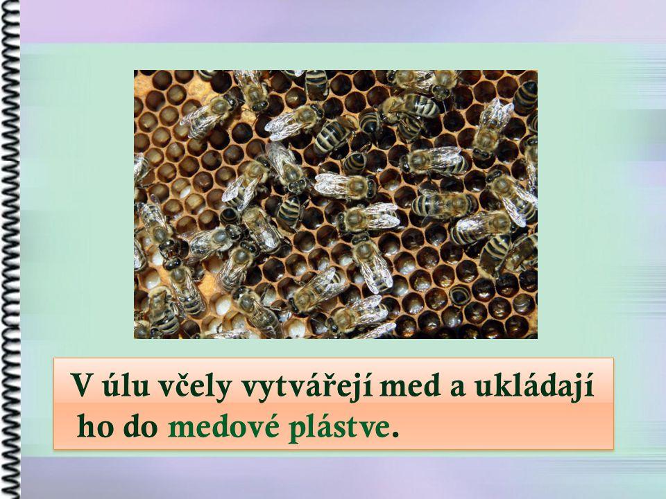 V úlu v č ely vytvá ř ejí med a ukládají ho do medové plástve. V úlu v č ely vytvá ř ejí med a ukládají ho do medové plástve.