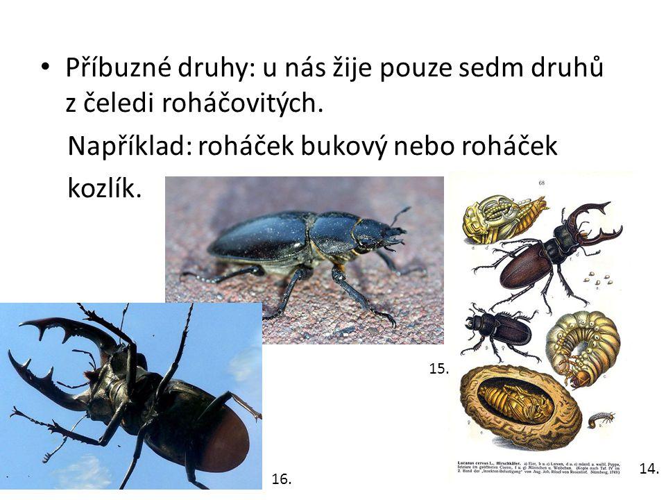 Příbuzné druhy: u nás žije pouze sedm druhů z čeledi roháčovitých.