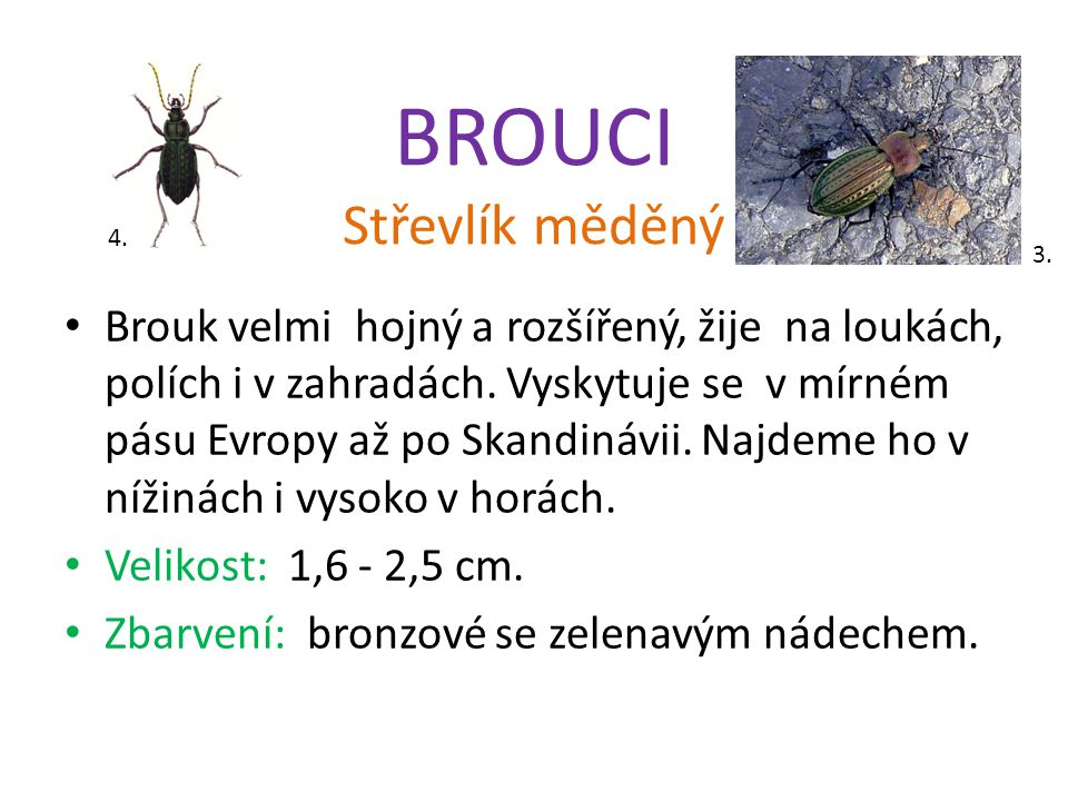 BROUCI Střevlík měděný Brouk velmi hojný a rozšířený, žije na loukách, polích i v zahradách.