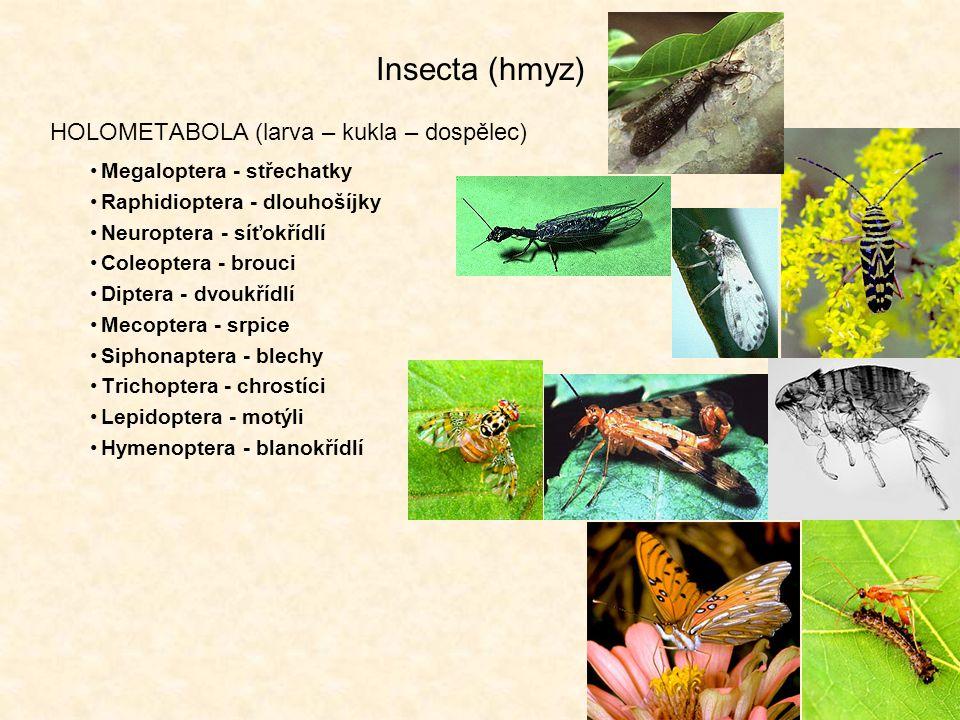 Insecta (hmyz) HOLOMETABOLA (larva – kukla – dospělec) Megaloptera - střechatky Raphidioptera - dlouhošíjky Neuroptera - síťokřídlí Coleoptera - brouci Diptera - dvoukřídlí Mecoptera - srpice Siphonaptera - blechy Trichoptera - chrostíci Lepidoptera - motýli Hymenoptera - blanokřídlí