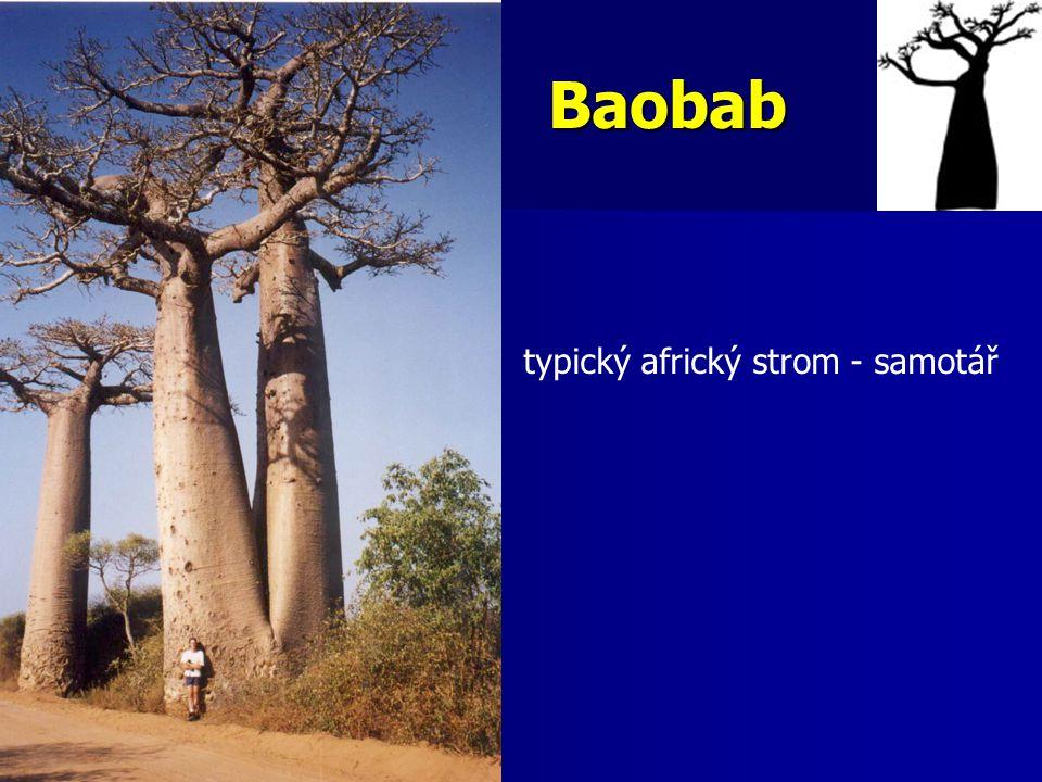 Baobab typický africký strom - samotář