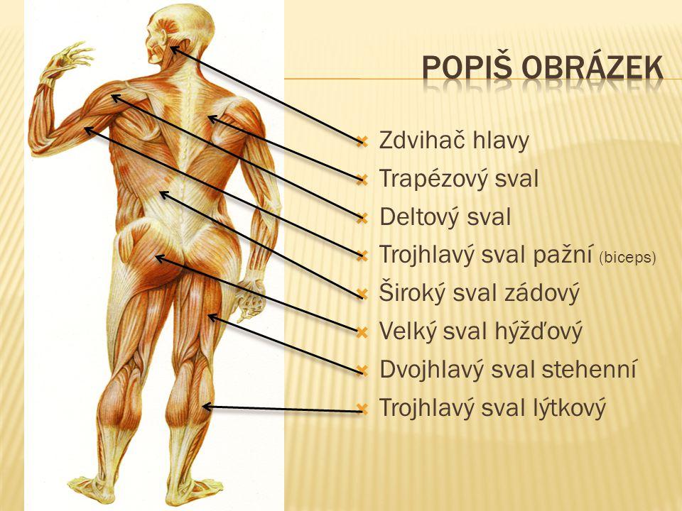  Zdvihač hlavy  Trapézový sval  Deltový sval  Trojhlavý sval pažní (biceps)  Široký sval zádový  Velký sval hýžďový  Dvojhlavý sval stehenní 