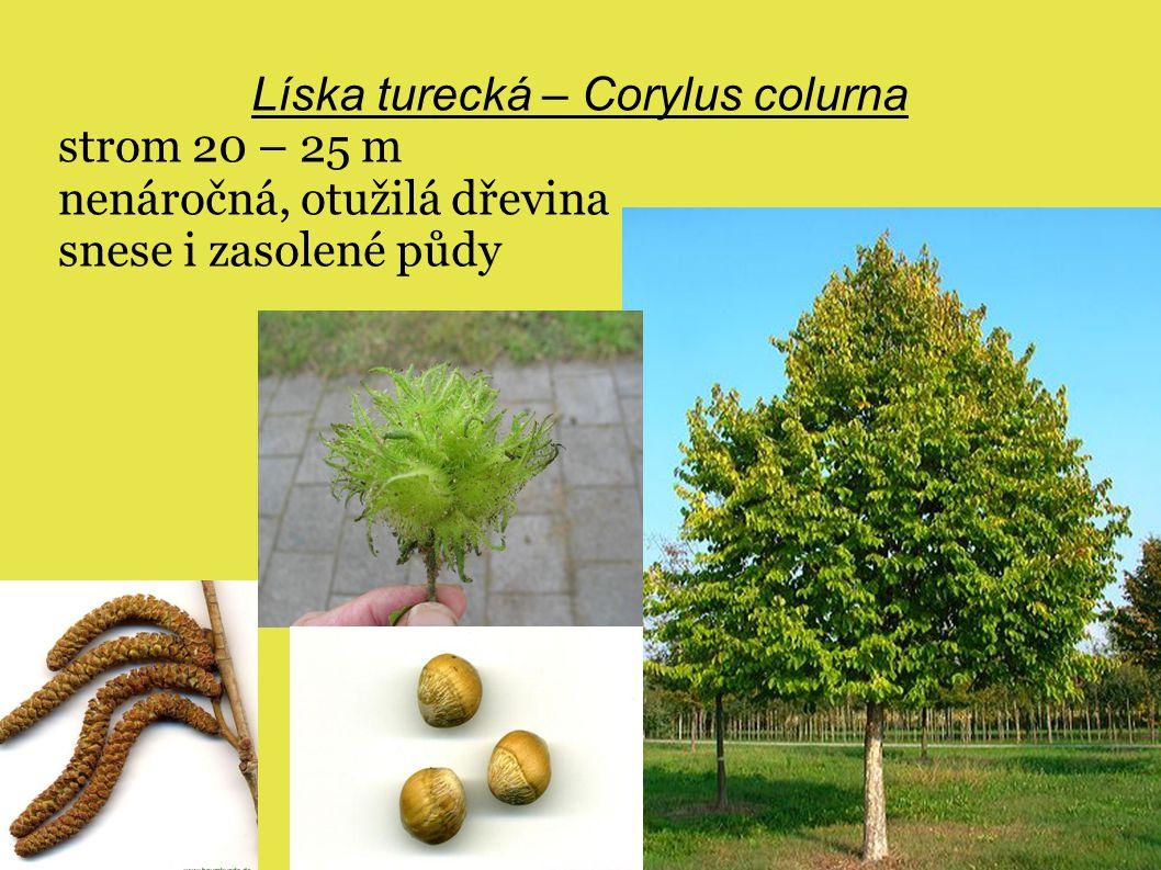 Líska turecká – Corylus colurna strom 20 – 25 m nenáročná, otužilá dřevina snese i zasolené půdy