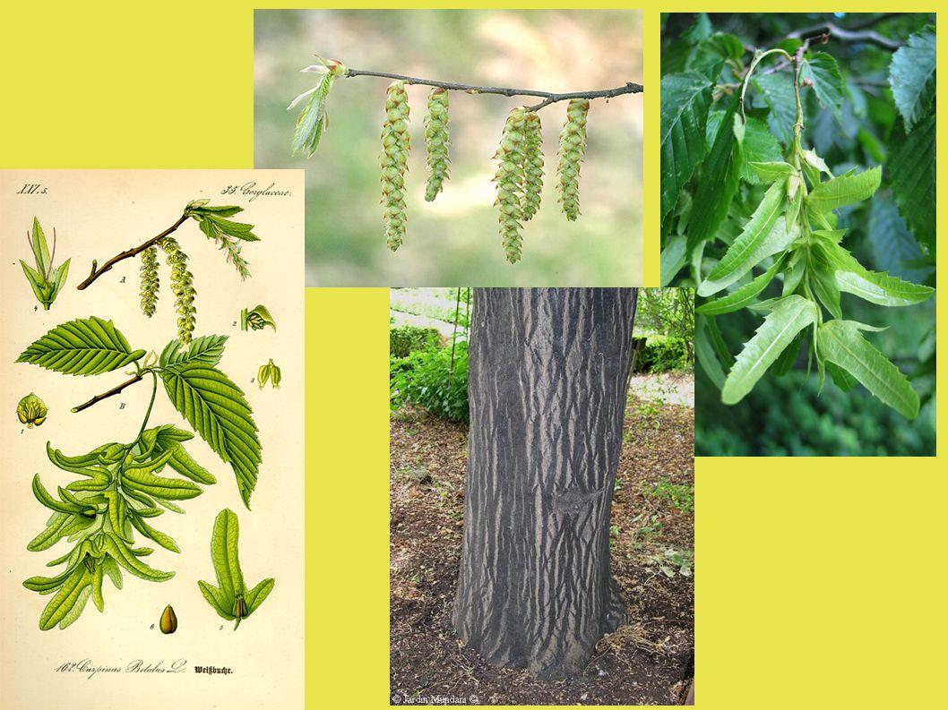 Včelařský význam : dobrý zdroj pylu ( IV – VI ) někdy menší zdroj medovice – zdobnatka habrová ( VI - VIII)