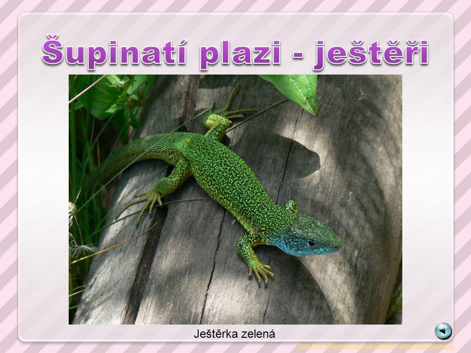 http://cs.wikipedia.org/wiki/Soubor:JesterkaZelena.jpg Ještěrka zelená