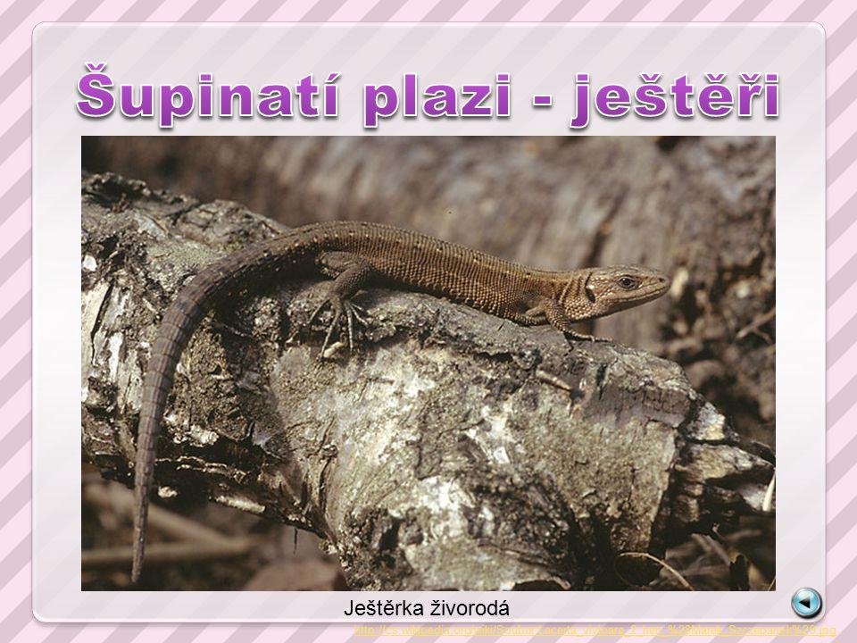 http://cs.wikipedia.org/wiki/Soubor:Lacerta_vivipara_2_hen_%28Marek_Szczepanek%29.jpg Ještěrka živorodá