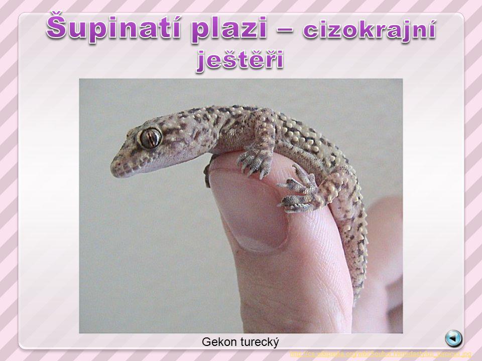 http://cs.wikipedia.org/wiki/Soubor:Hemidactylus_turcicus.jpg Gekon turecký
