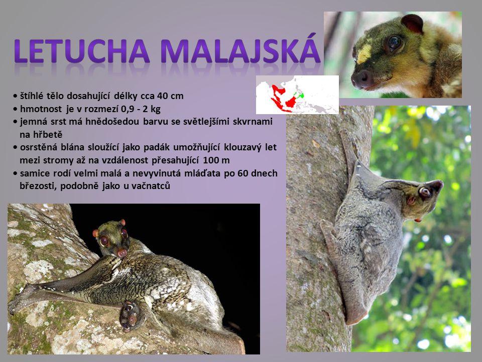 štíhlé tělo dosahující délky cca 40 cm hmotnost je v rozmezí 0,9 - 2 kg jemná srst má hnědošedou barvu se světlejšími skvrnami na hřbetě osrstěná blána sloužící jako padák umožňující klouzavý let mezi stromy až na vzdálenost přesahující 100 m samice rodí velmi malá a nevyvinutá mláďata po 60 dnech březosti, podobně jako u vačnatců