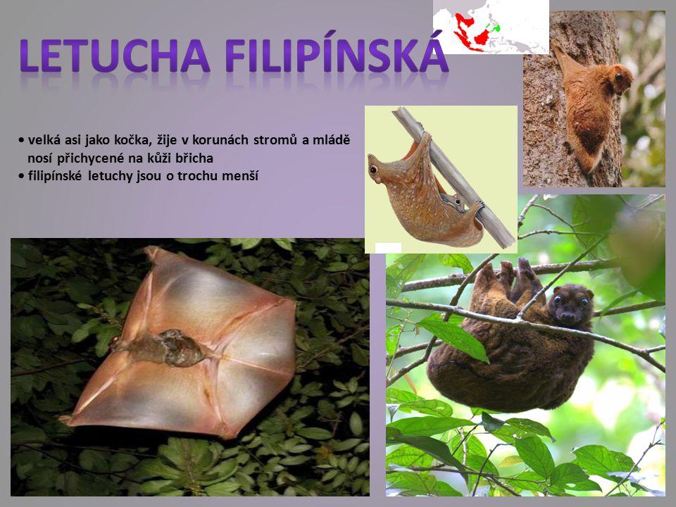 velká asi jako kočka, žije v korunách stromů a mládě nosí přichycené na kůži břicha filipínské letuchy jsou o trochu menší
