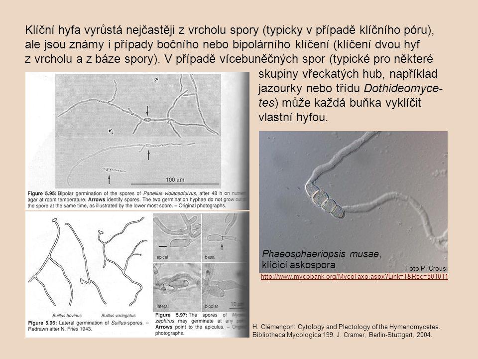 Klíční hyfa vyrůstá nejčastěji z vrcholu spory (typicky v případě klíčního póru), ale jsou známy i případy bočního nebo bipolárního klíčení (klíčení d