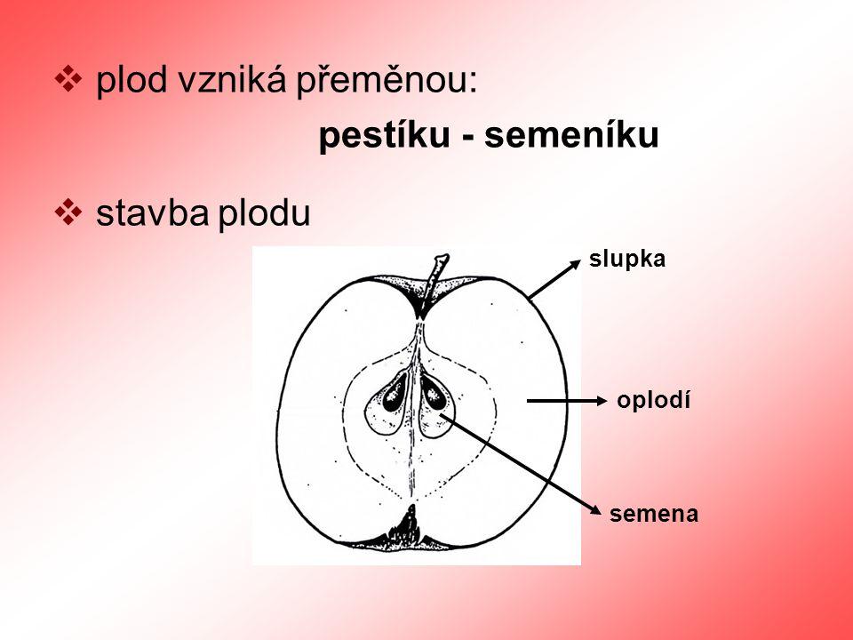  plod vzniká přeměnou: pestíku - semeníku  stavba plodu slupka oplodí semena