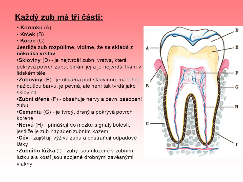 Korunku (A) Krček (B) Kořen (C) Jestliže zub rozpůlíme, vidíme, že se skládá z několika vrstev: Skloviny (D) - je nejtvrdší zubní vrstva, která pokrýv