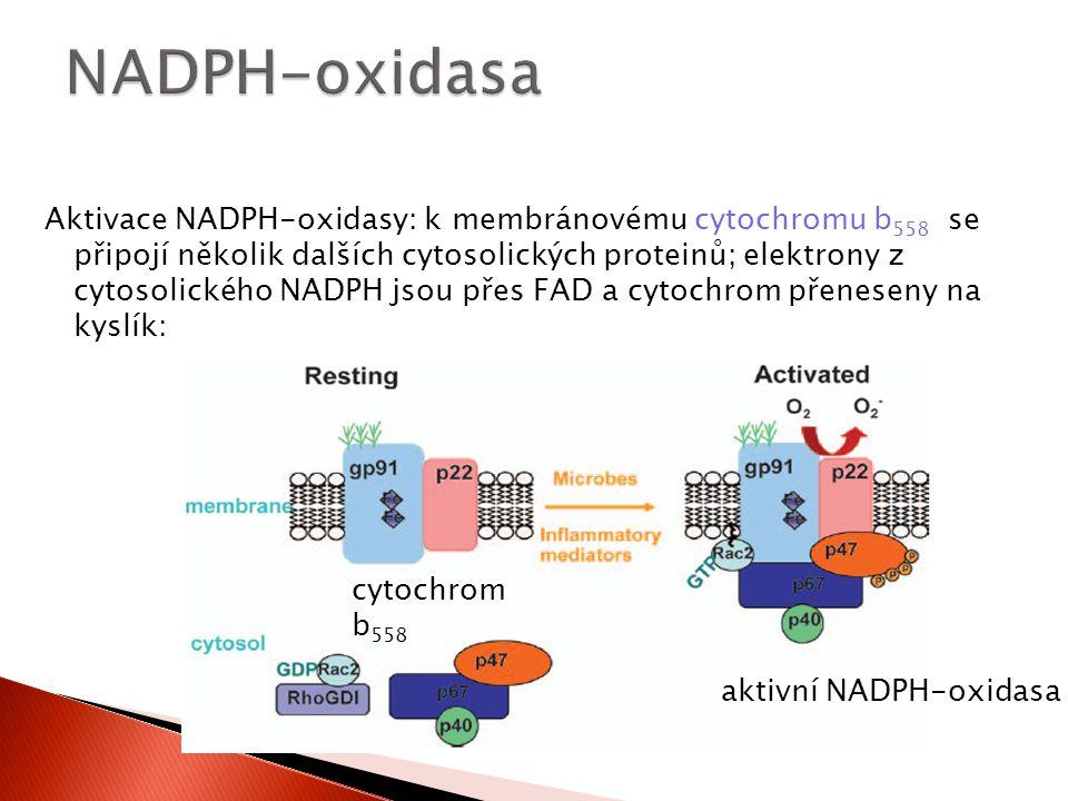 cytochrom b 558 aktivní NADPH-oxidasa Aktivace NADPH-oxidasy: k membránovému cytochromu b 558 se připojí několik dalších cytosolických proteinů; elekt