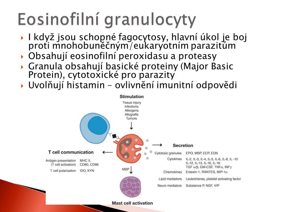  I když jsou schopné fagocytosy, hlavní úkol je boj proti mnohobuněčným/eukaryotním parazitům  Obsahují eosinofilní peroxidasu a proteasy  Granula