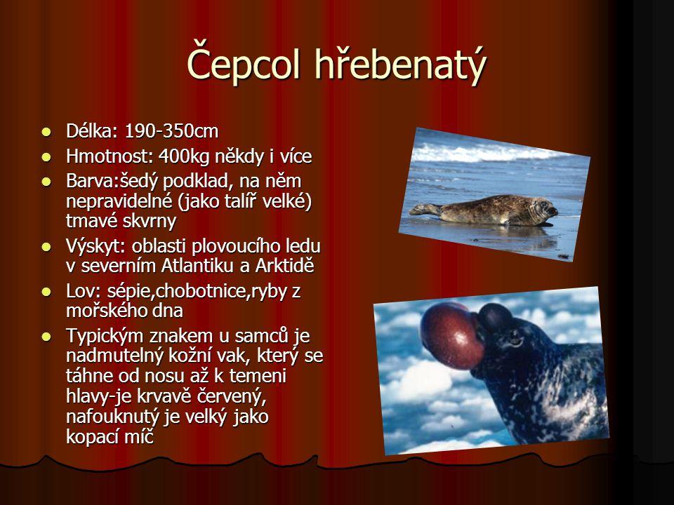 Čepcol hřebenatý Délka: 190-350cm Délka: 190-350cm Hmotnost: 400kg někdy i více Hmotnost: 400kg někdy i více Barva:šedý podklad, na něm nepravidelné (