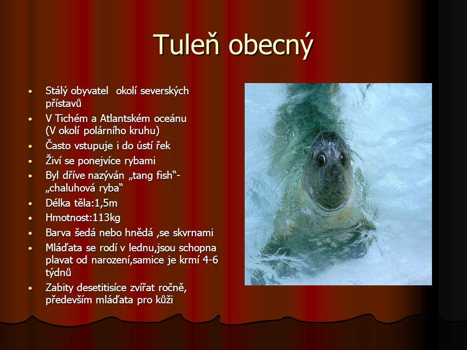 Tuleň kuželozubý Délka těla: 215cm Délka těla: 215cm Hmotnost: cca125 až 300 kg Hmotnost: cca125 až 300 kg Barva srsti:na tmavém podkladě světlé skvrny Barva srsti:na tmavém podkladě světlé skvrny Výskyt:Labrador, Norsko, Baltské moře, Botnický záliv, skalnatá pobřeží Výskyt:Labrador, Norsko, Baltské moře, Botnický záliv, skalnatá pobřeží Loví: ryby, garnáty i mořské plže bez ulit Loví: ryby, garnáty i mořské plže bez ulit Mláďata jsou pokryta bílou vlnitou srstí, délka:75cm, hmotnost: 15- 20 kg Mláďata jsou pokryta bílou vlnitou srstí, délka:75cm, hmotnost: 15- 20 kg Je vytlačován ostatními tuleními druhy na jih Je vytlačován ostatními tuleními druhy na jih