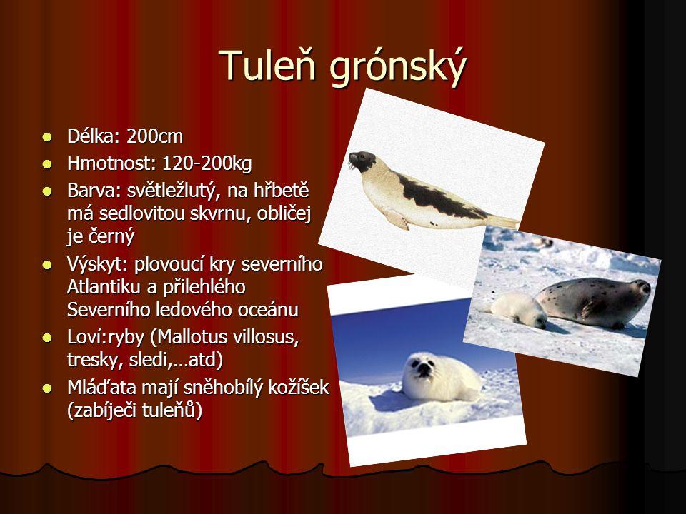 Tuleň grónský Délka: 200cm Délka: 200cm Hmotnost: 120-200kg Hmotnost: 120-200kg Barva: světležlutý, na hřbetě má sedlovitou skvrnu, obličej je černý B
