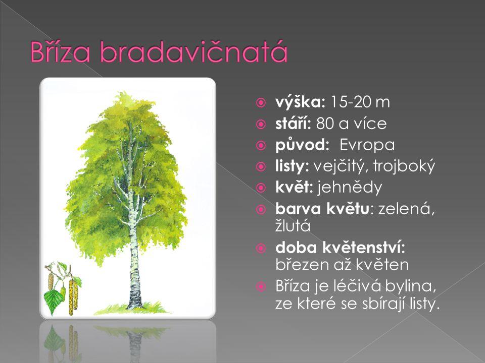  výška: 15-20 m  stáří: 80 a více  původ: Evropa  listy: vejčitý, trojboký  květ: jehnědy  barva květu : zelená, žlutá  doba květenství: březen