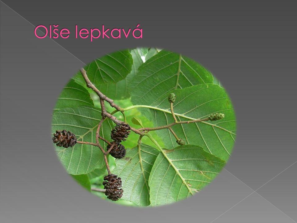 je statný jednodomý listnatý stromstrom  dorůstající výšky asi 25 m.