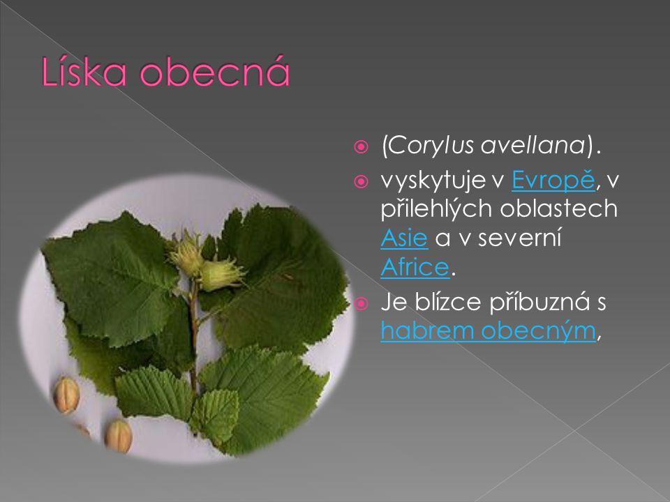  (Corylus avellana).  vyskytuje v Evropě, v přilehlých oblastech Asie a v severní Africe.Evropě Asie Africe  Je blízce příbuzná s habrem obecným, h