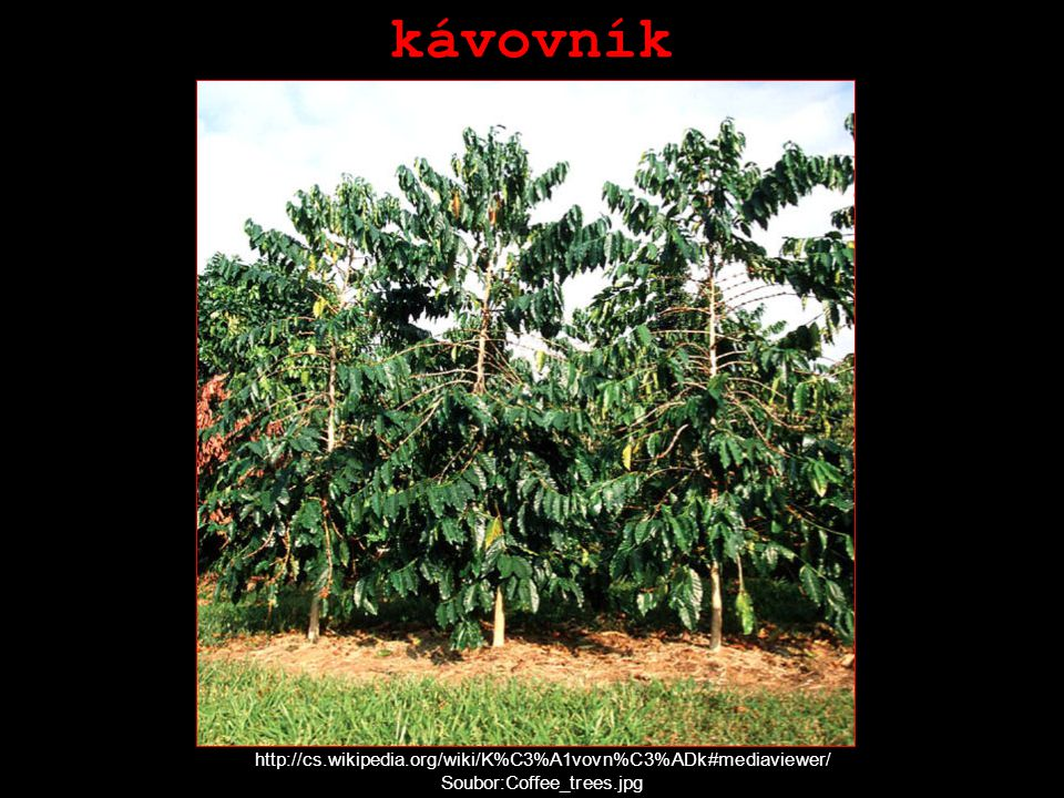 kávovník http://cs.wikipedia.org/wiki/K%C3%A1vovn%C3%ADk#mediaviewer/ Soubor:Coffee_trees.jpg