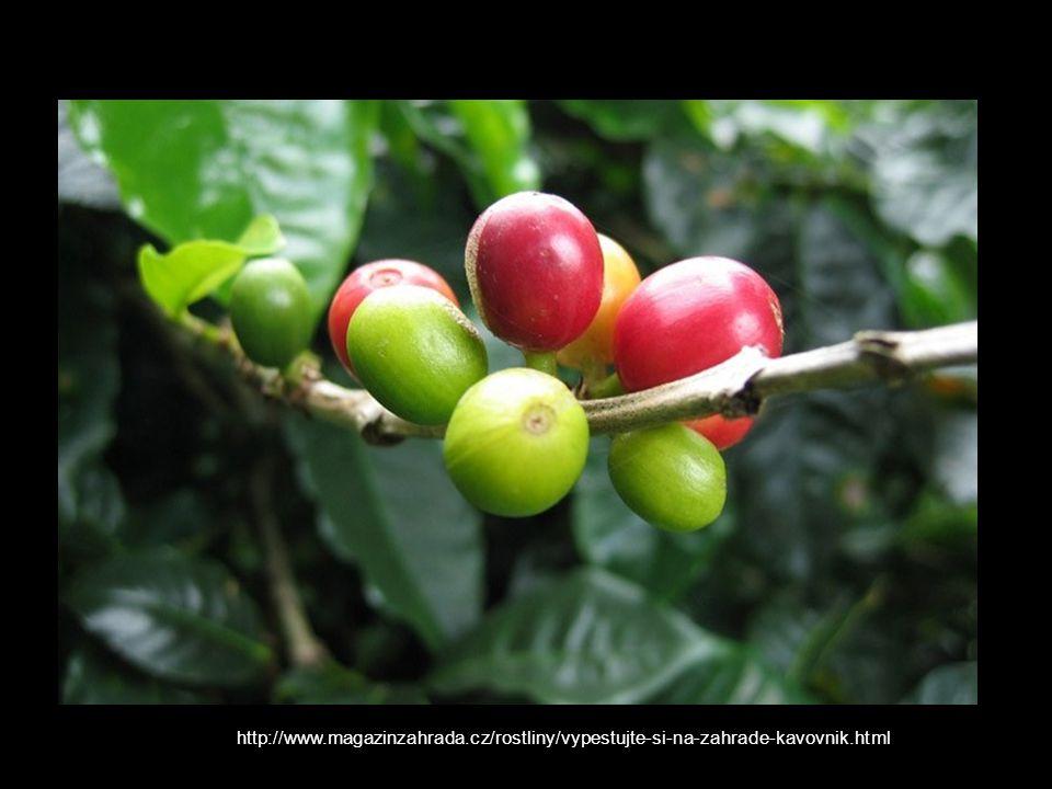 http://www.magazinzahrada.cz/rostliny/vypestujte-si-na-zahrade-kavovnik.html