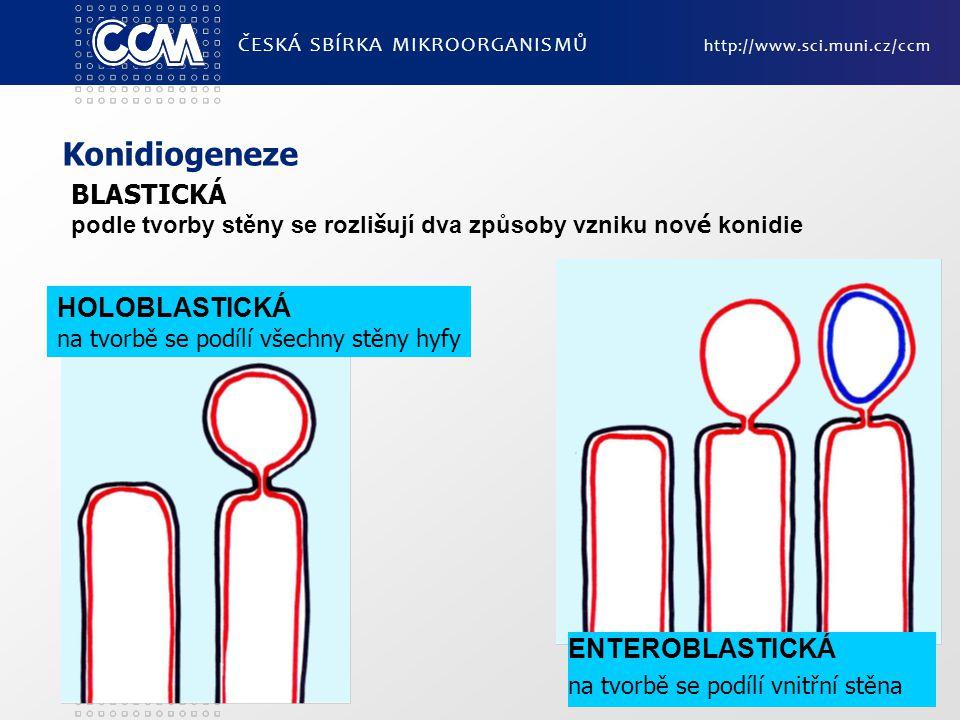 Konidiogeneze ČESKÁ SBÍRKA MIKROORGANISMŮ http://www.sci.muni.cz/ccm ENTEROBLASTICKÁ na tvorbě se podílí vnitřní stěna HOLOBLASTICKÁ na tvorbě se podílí všechny stěny hyfy BLASTICKÁ podle tvorby stěny se rozli š ují dva způsoby vzniku nov é konidie