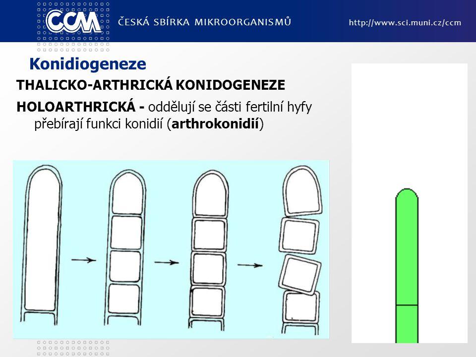 Konidiogeneze THALICKO-ARTHRICKÁ KONIDOGENEZE HOLOARTHRICKÁ - oddělují se části fertilní hyfy přebírají funkci konidií (arthrokonidií) ČESKÁ SBÍRKA MIKROORGANISMŮ http://www.sci.muni.cz/ccm